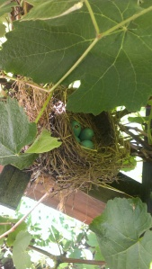 Momma Bird's blue eggs, 6-9-13